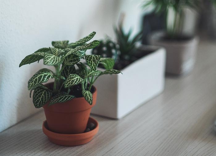 7 plantas de interior para decorar tu departamento 6