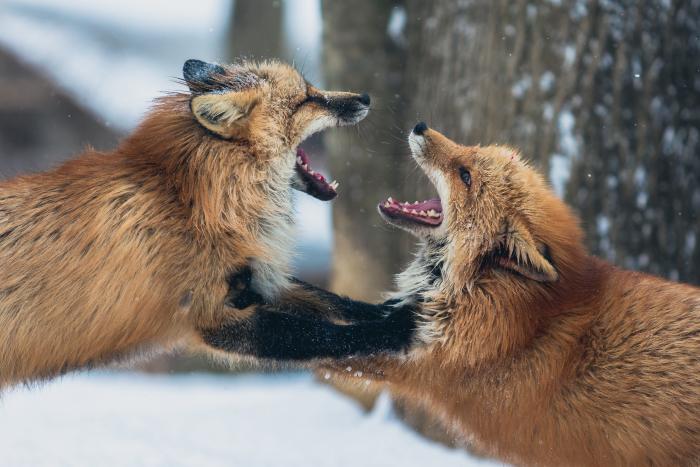 pelear