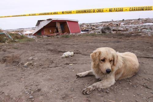 Terremoto en Chile: Ayuda a animales 1