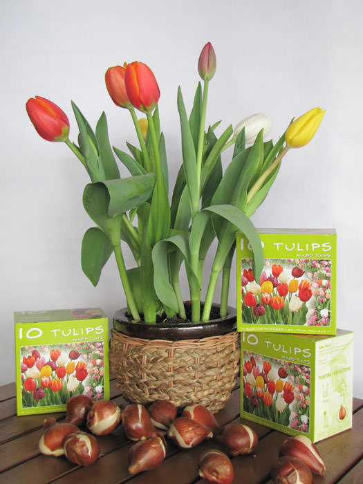 Tulipanes en tu jardín 3